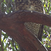 Great Horned Owl, Coyote Hills Regional Park, 19-Sept-2013