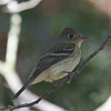 Pacific-Slope Flycatcher, Coyote Hills Regional Park, 19-Sept-2013