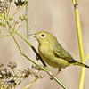 Yellow Warbler, Coyote Hills Regional Park, 19-Sept-2013