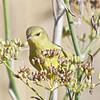 Orange-crowned Warbler, Coyote Hills Regional Park, 19-Sept-2013