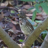 Fox Sparrow, Coyote Hills Regional Park, 19-Sept-2013