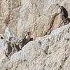 Peregrine Falcon on Rock, Point Lobos, 23-Sept-2013