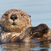 Sea Otter at Elkhorn Slough, 23-Sept-2013