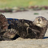 Sea Otter at Moss Landing, 23-Sept-2013