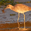 Willet with Crab, Moss Landing, 23-Sept-2013