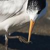 Elegant Tern, Moss Landing, 23-Sept-2013