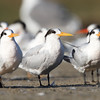Lined Up, Elegant Terns, Moss Landing, 23-Sept-2013