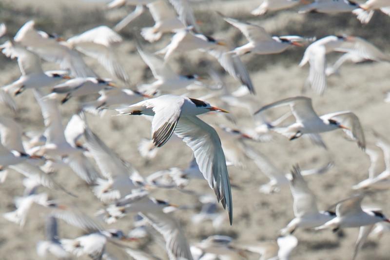 Elegant Terns, Moss Landing, 23-Sept-2013