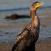 Double-crested Cormorant at Moss Landing, 23-Sept-2013