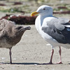 Juvenile begging Adult Western Gull, Moss Landing, 23-Sept-2013