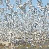 Elegant Tern Flock, Moss Landing, 23-Sept-2013