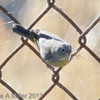 Virginia's Warbler with Spider, Sunnyvale WPCP, Santa Clara County, 25-Sept-2013