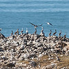 Lots of Brown Pelicans (but looking for a Booby), Pescadero State Beach, San Mateo County, 5-Oct-2013