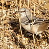Northern Mockingbird with red insect, Coyote Hills Regional Park, Alameda County, 7-Oct-2013