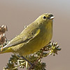 Orange-crowned Warbler, Coyote Hills Regional Park, Alameda County, 7-Oct-2013