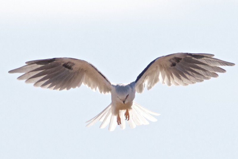 White-tailed Kite, Coyote Hills Regional Park, Alameda County, 7-Oct-2013