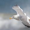 Western Gull, Drakes's Beach, Pt Reyes National Seashore, 26-Oct-2013