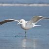 Mew Gull, Drakes's Beach, Pt Reyes National Seashore, 26-Oct-2013