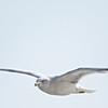 Ring-billed Gull, Drakes's Beach, Pt Reyes National Seashore, 26-Oct-2013