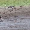 Aleutian Cackling Goose, Greater Yellowlegs, Mallard and Horned Grebe, Mendoza Ranch (B Ranch), Pt Reyes National Seashore, 26-Oct-2013
