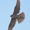 Peregrine Falcon (Juvenile), Fish Docks, Pt Reyes National Seashore, 26-Oct-2013