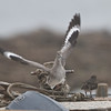 Willet, Oyster Farm, Pt Reyes National Seashore, 26-Oct-2013