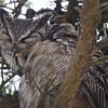 Great Horned Owl (preening), Mendoza Ranch (B Ranch), Pt Reyes National Seashore, 26-Oct-2013