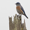 Western Bluebird, RCA Towers, Pt Reyes National Seashore, 26-Oct-2013