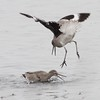 Willet Scuffle #6