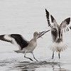 Willet Scuffle #4