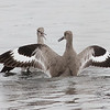 Willet Scuffle #8