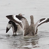 Willet Scuffle #7