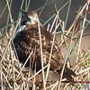 Red-tailed Hawk, Colusa NWR, Colusa County, CA, 8-Dec-2013
