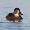 Female Ring-necked Duck, Sacramento NWR, Glenn County, CA, 7-Dec-2013