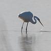 Great Egret Fishing, Sacramento NWR, Glenn County, CA, 7-Dec-2013