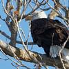 Bald Eagle, Colusa NWR, Colusa County, CA, 8-Dec-2013