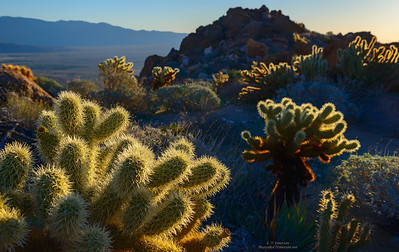 Cholla in Early Morning