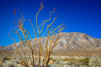 Ocotillo in Bloom