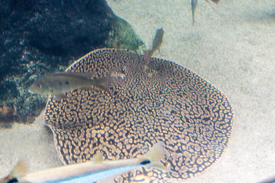 A spotted skate