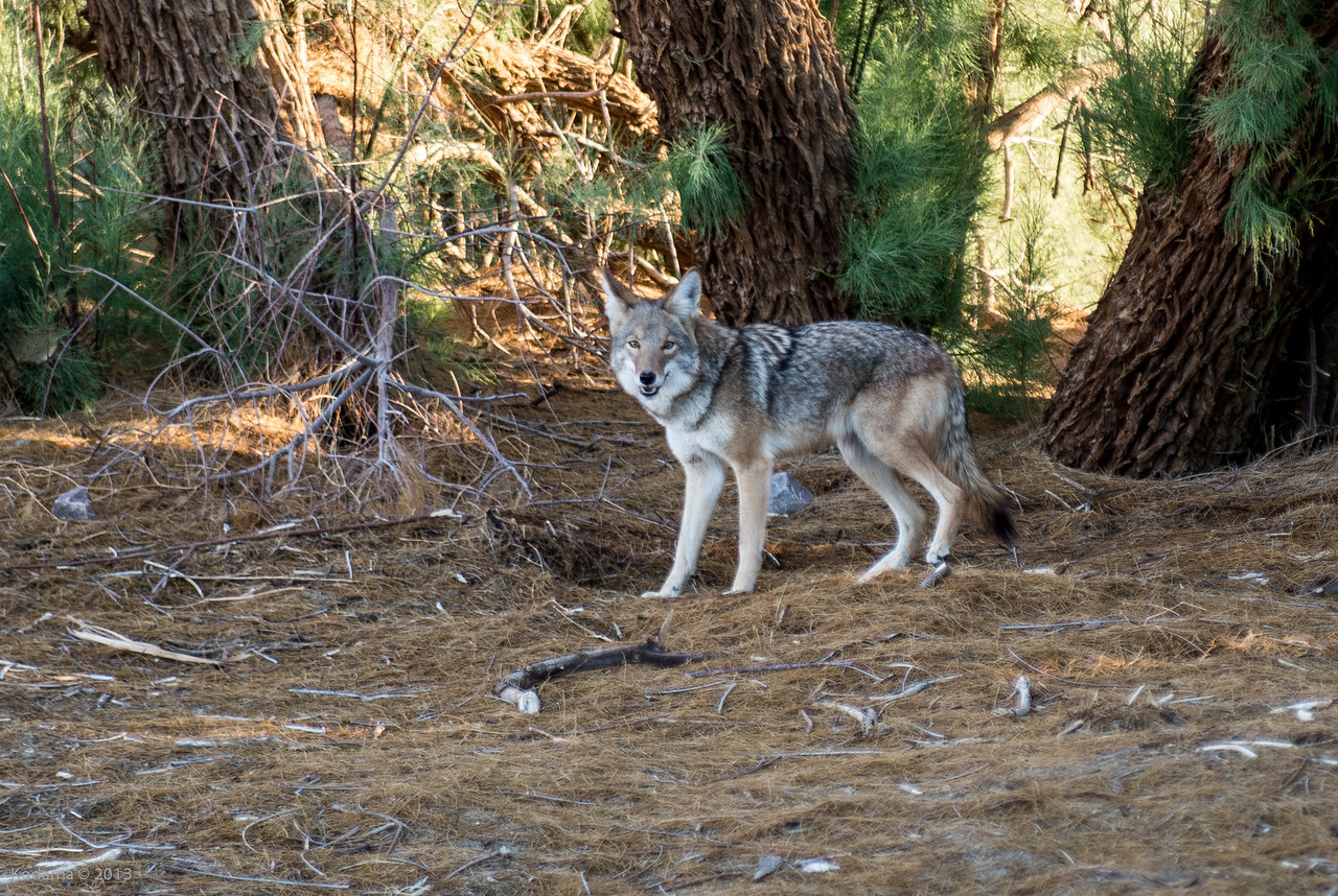 Coyote near Furnace Creek Visitor's Center