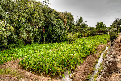 Taro fields in Waihee Valley.  Key to growing taro is a continuous flow of cool water.