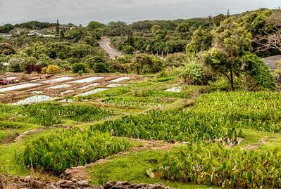 Some of the fields supplying Maui's Aloha Poi Factory.