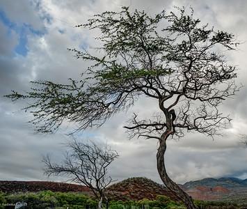 Keawe tree.