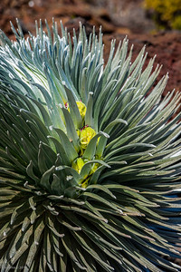 Silversword begins to bloom.