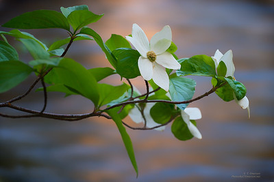 Dogwood Blooms Along the Merced