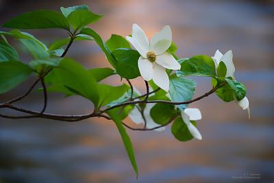 Dogwood Blooms Along the Merced