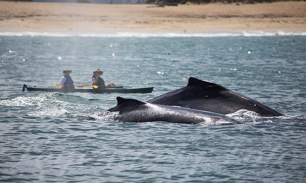Kayakers Meet  Humpback Whale