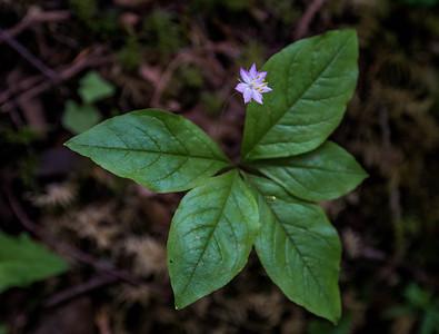 Broadleaf Starflower