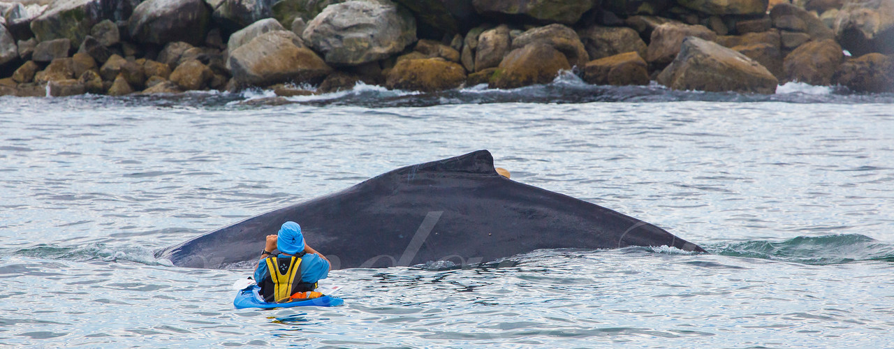 Humpback Whale and Kayaker's