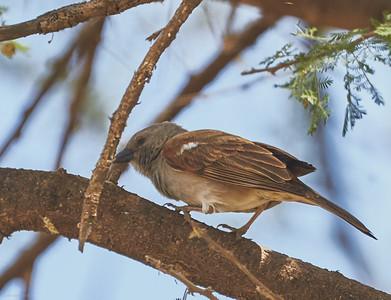 Swahili Sparrow
